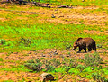 Grisly Bear,Yellowstone National Park-2